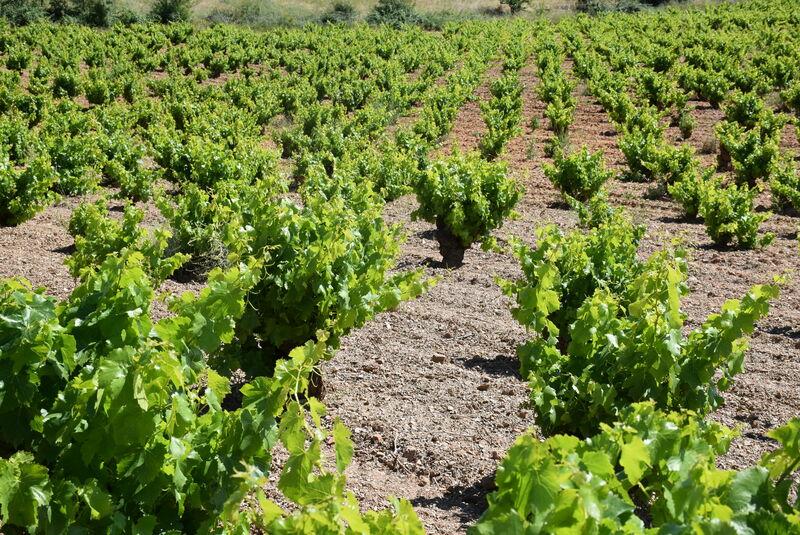 Viñas viejas de uva garnacha en la D.O.P. Cariñena
