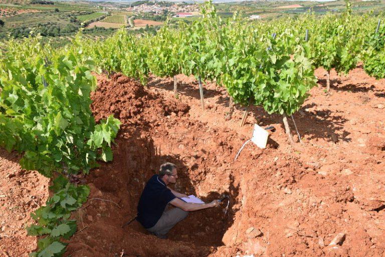 El técnico Laurent Duret durante los trabajos en un viñedo de Cosuenda de uva cariñena