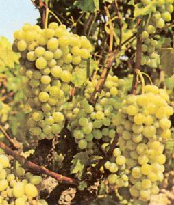 Moscatel de Alejandria